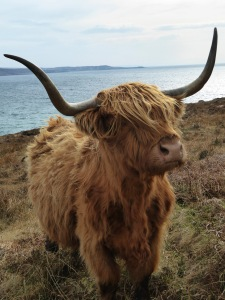 highland cow side 2